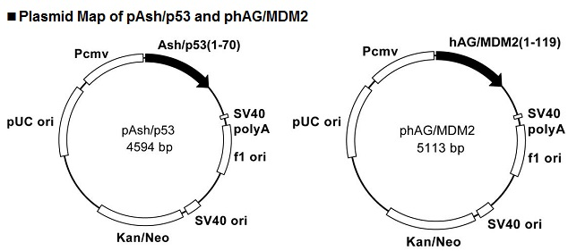 Plasmid Map of pAsh/p53 and phAG/MDM2