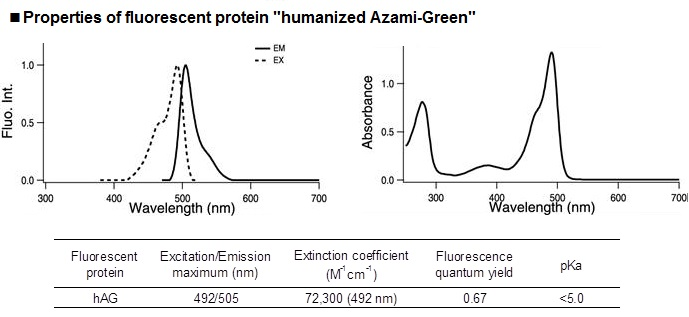 "Properties of fluorescent protein ""humanized Azami-Green"""