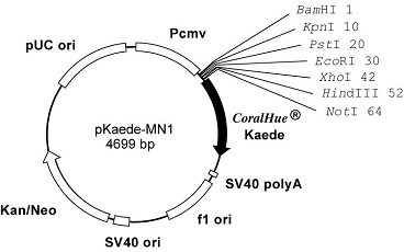 Plasmid map of pKaede-MN1