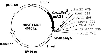 Plasmid map of pmAG1-MC1