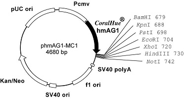 Plasmid map of phmAG1-MC1