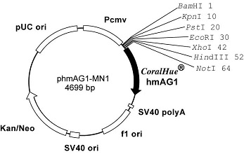 Plasmid map of phmAG1-MN1