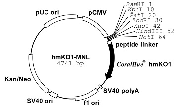 Plasmid map of phmKO1-MNL