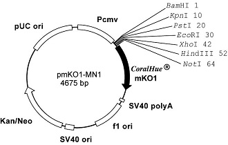 Plasmid map of pmKO1-MN1