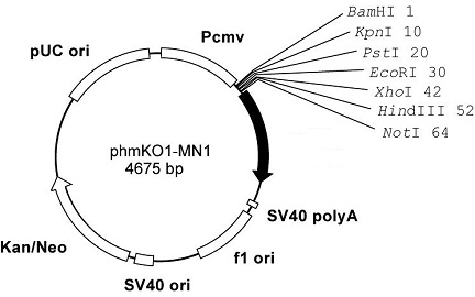 Plasmid map of phmKO1-MN1