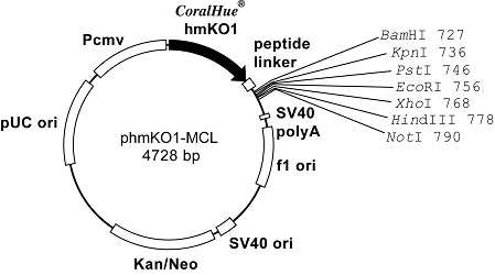 Plasmid map of phmKO1-MCL