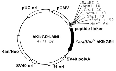 Plasmid map of phKikGR1-MNL