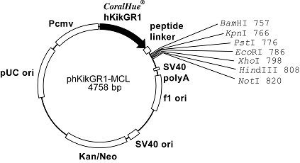 Plasmid map of phKikGR1-MCL