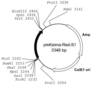 Plasmid map of pmKeima-Red-S1