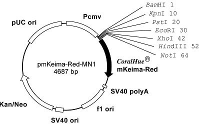 Plasmid map of pmKeima-Red-MN1