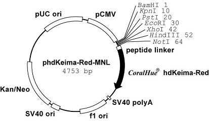Plasmid map of phdKeima-Red-MNL