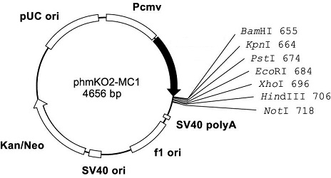 Plasmid map of phmKO2-MC1