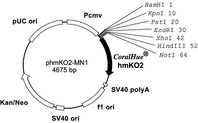 Plasmid map of phmKO2-MN1