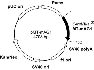 Plasmid map of pMT-mAG1