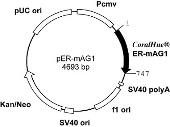 Plasmid map of pER-mAG1