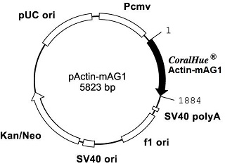 Plasmid map of pActin-mAG1
