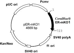 Plasmid map of pER-mKO1