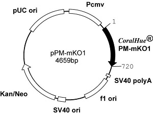 Plasmid map of pPM-mKO1