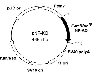 Plasmid map of pNP-KO
