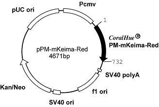 Plasmid map of pPM-mKeima-Red