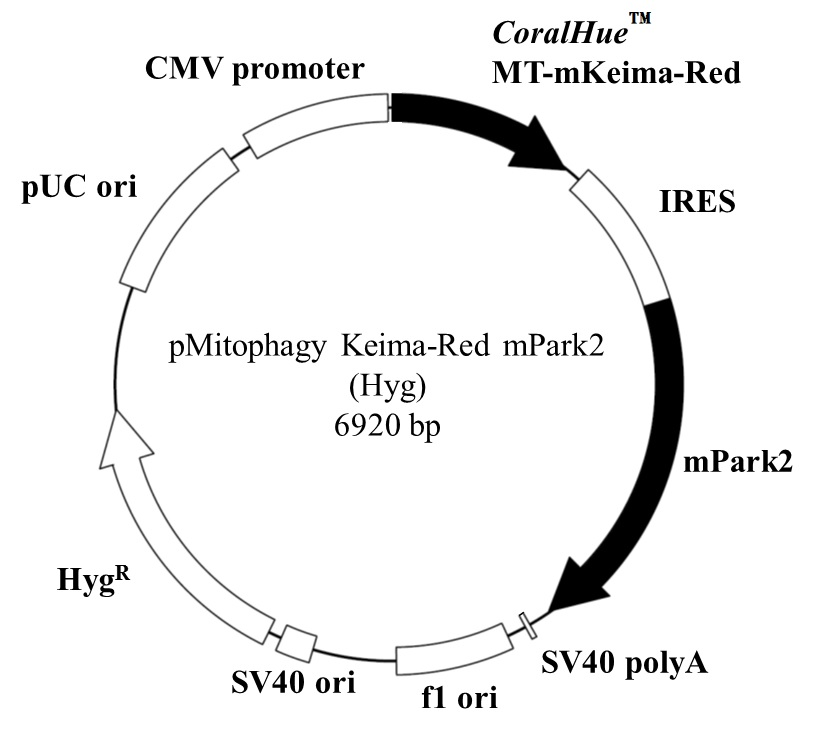 Vector map of pMitophagy Keima-Red mPark2 (Hyg)