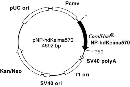 Plasmid map of pNP-hdKeima570