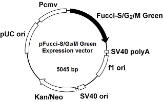Plasmid map of pFucci-S/G<sub>2</sub>/M Green