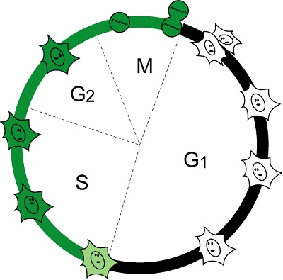 Schematic of the cell cycle specific fluorescence of Fucci-S/G<sub>2</sub>/M Green (N+C)