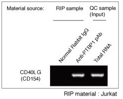 Identification of target RNA isolated from cellular RNP complex by RT-PCR