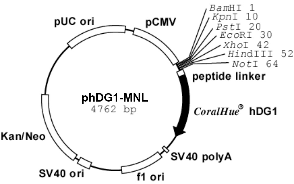 Plasmid map of phDG1-MNL