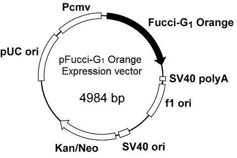 Plasmid map of pFucci-G1 Orange