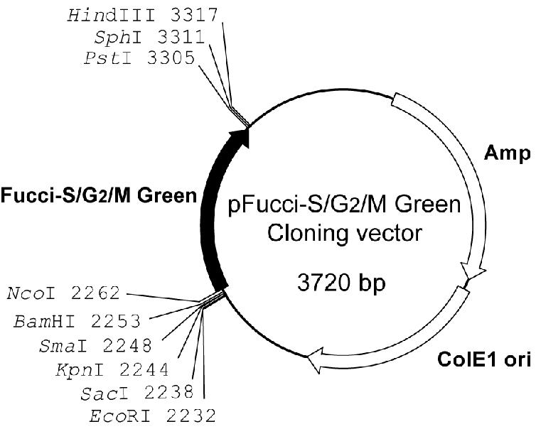 Plasmid map of pFucci-S/G2/M Green
