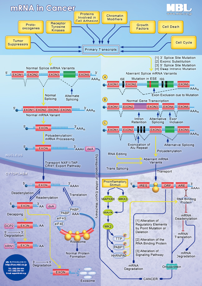 mRNA in Cancer