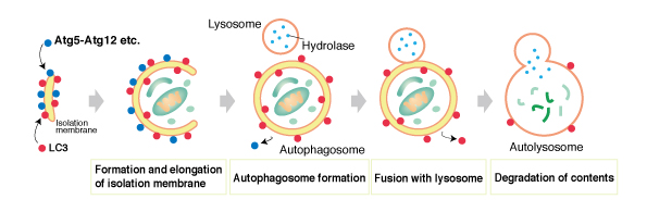 What is autophagy?