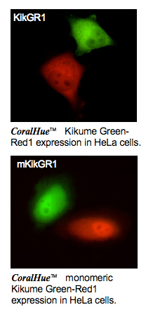 Kikume Green Red1 and monomeric Kikume Green-Red1