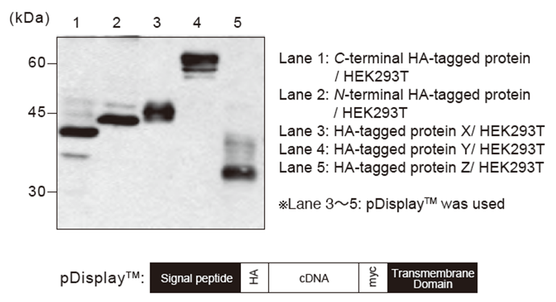 Anti-HA-tag mAb (Clone: 5D8) WB