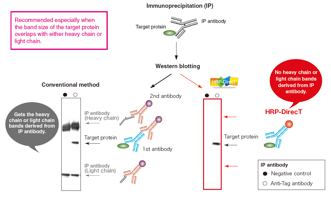 No cross-reactivity with antibodies used for immunoprecipitation eliminating their heavy and light chain bands in the blots