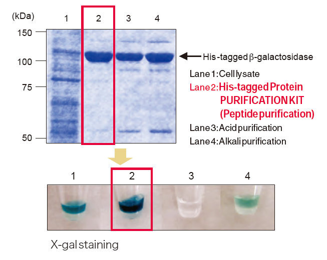 3310 Purification and enzymatic activity of N-terminal His-tagged β-galactosidase