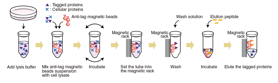 Tagged protein magnetic purification kit procedure summary.png