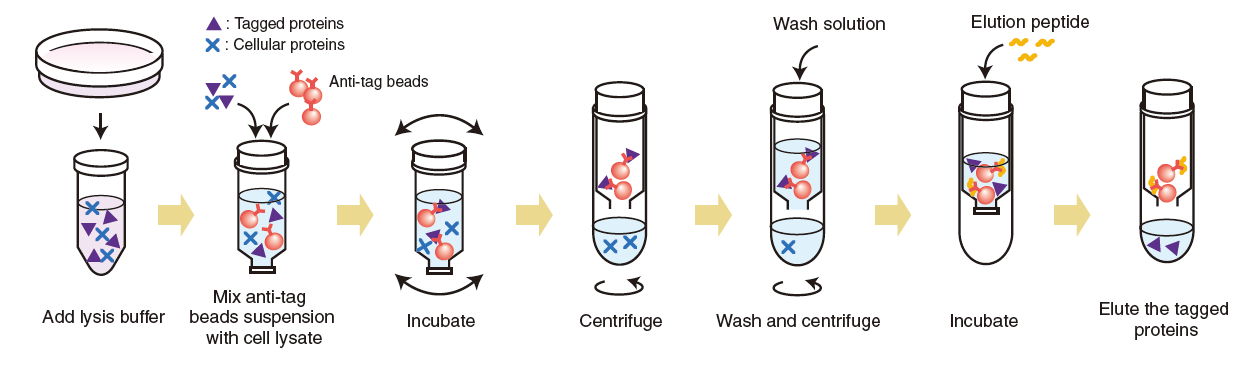 Tagged protein purification kit procedure summary