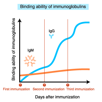 Binding ability of immunoglobulins