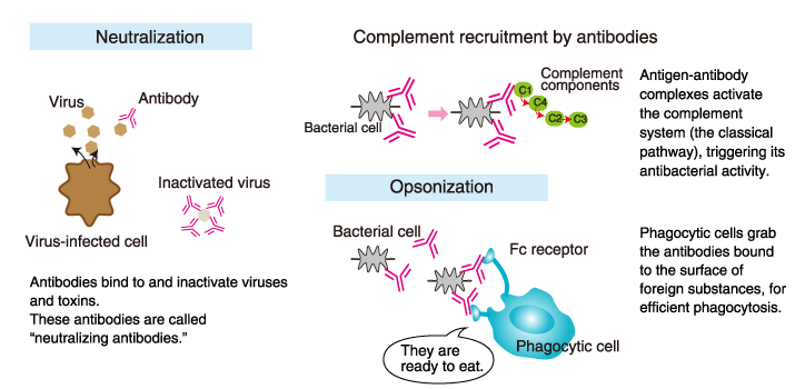 The role of antibodies | MBL Life Sience -ASIA-