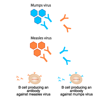 The specificity of antibodies