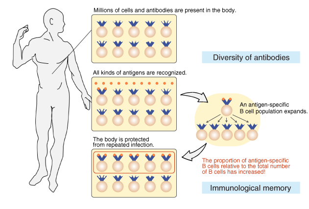 The diversity of antibodies and immunological memory