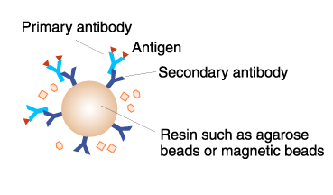 Beads labeled antibody