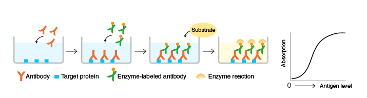 The principle and method of ELISA | MBL Life Science -JAPAN-