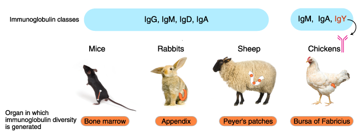 Isotypes of immunized animals