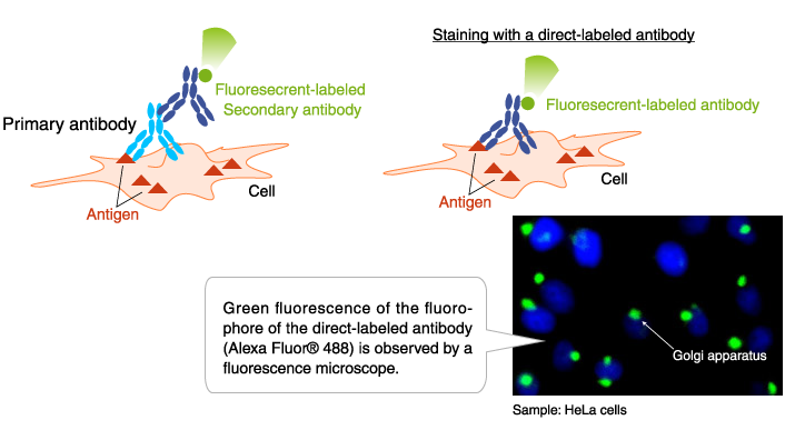 Application example of fluorescent-labeled antibody: Immunofluorescence staining