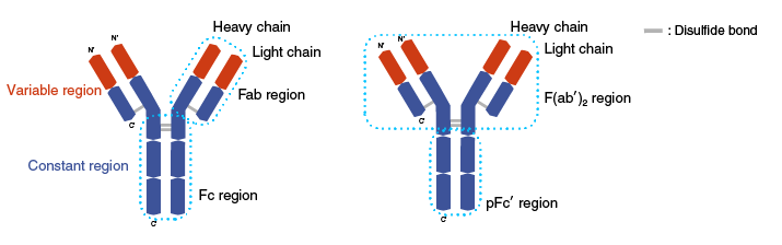 Fab and Fc region of the antibody
