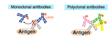 Labeled (secondary) antibodies